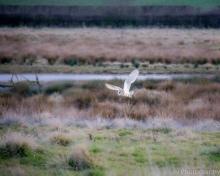 Barn Owl - Stoke Dry