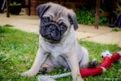 P ~ Pug Bugsy