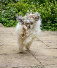 C ~ Chinese Crested Powder Puff Sophie