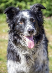 B ~ Border Collie Dougie