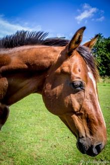 Chestnut Horse-0792