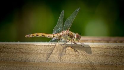 Dragonfly-2448