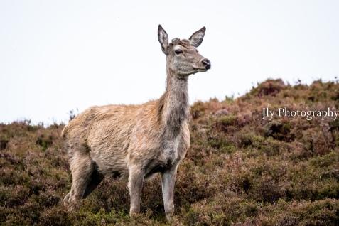 Scotland - Deer-0365
