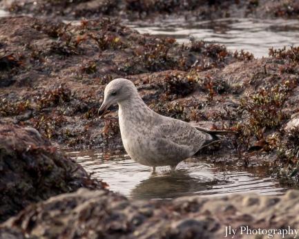 Seagull-9695