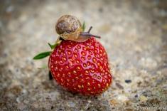 Snail on Strawberry-0640